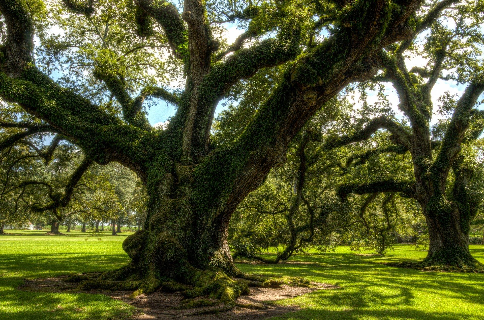 Le Chêne est bien ancré. Ses bourgeons viennent au secours de tous ceux qui n'ont pas trouvé leur place dans ce monde.
