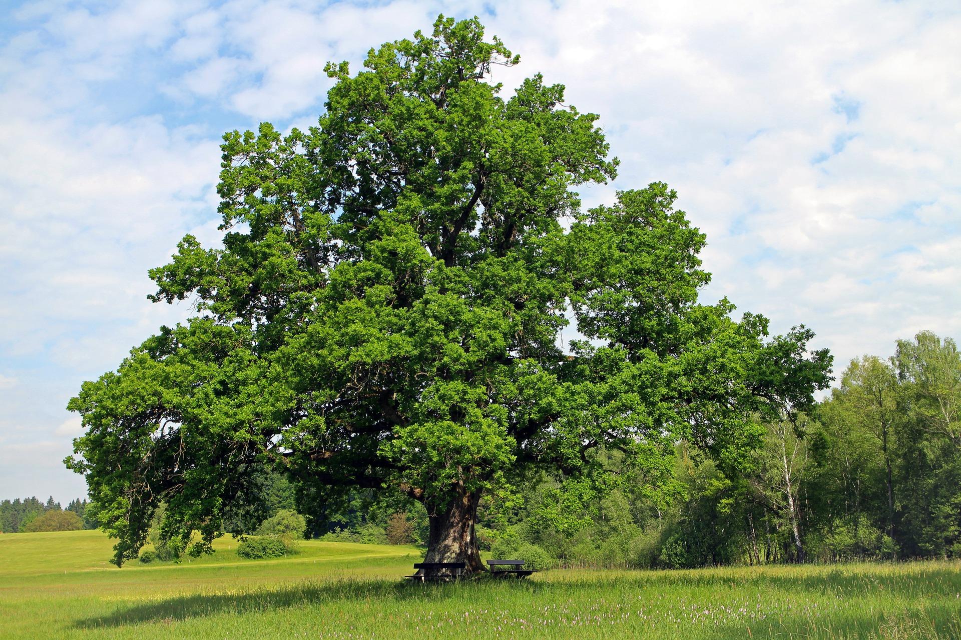 Le Chêne pour vous enraciner profondément
