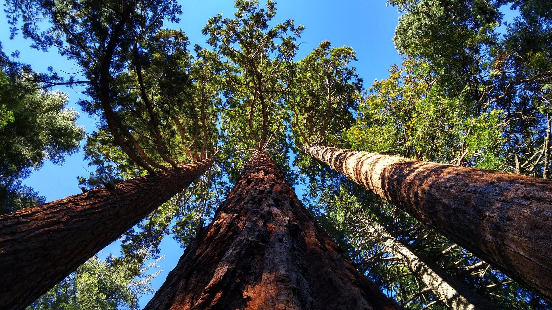 Le macérat-mère de bourgeons de Séquoia Géant est un grand remède de l'homme de plus de 45 ans.