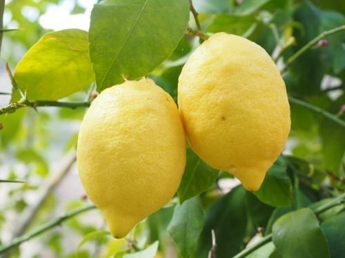 Le citron draine votre foie et fluidifie votre circulation sanguine