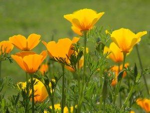 L'escholtzia est aussi connue sous le nom de Pavot de Californie