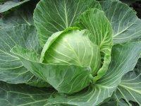Le chou lacto-fermenté est connu sous le nom de choucroute