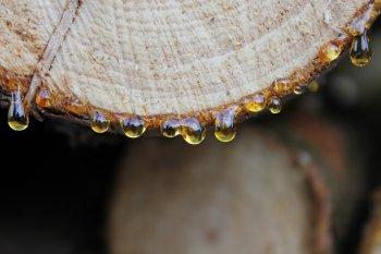 La résine protège l'arbre contre les parasites