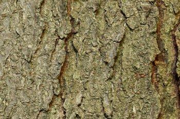 Plus l'écorce est sèche et craquelée, plus l'arbre a des chances d'être ancien