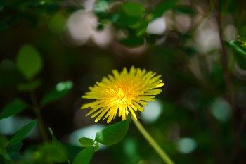 Préparez-vous des infusions avec quelques fleurs de pissenlit pour soulager votre foie