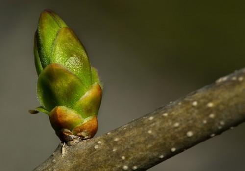 Les bourgeons détiennent tous les potentiels de la plante avant le développement de celle-ci.
