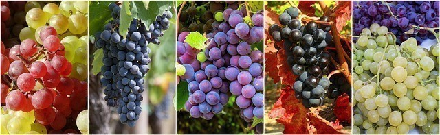 Tous les raisins se prêtent à la cure. Leurs différences se ressentent lors de la digestion.